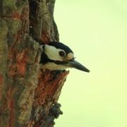 Head of Woodpecker Dendrocopos major